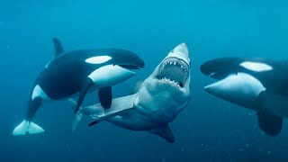SK This Is Why Orcas Are Called Killer Whales