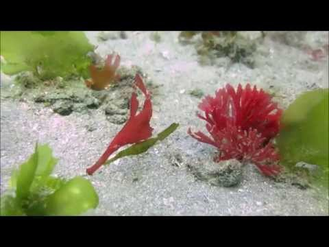 Ghost pipefish in Indonesia