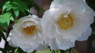 牡丹と芍薬