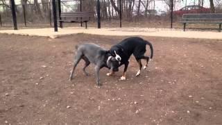 Kiara & Lilo - Greater Swiss Mountain Dog