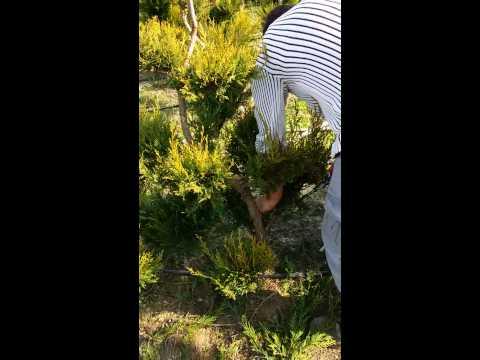 Arte topiaria bonsai