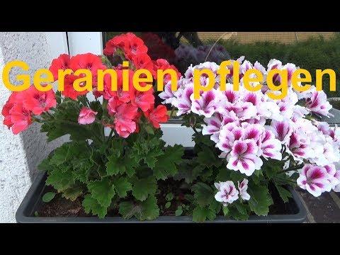 Geranien pflegen pflanzen düngen gießen Standort überwintern Pelargonium