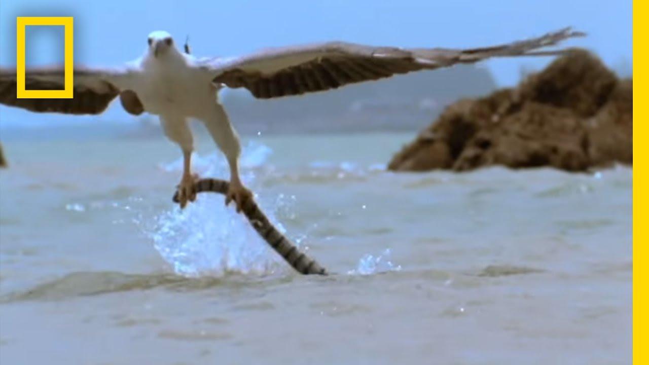 Eagle vs. Sea Snake | National Geographic thumbnail