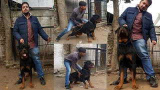 Biggest Rottweiler Male Dog And Puppy  in Punjab - Hsn Entertainment