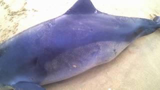 ШТОРМ в Анапе 2018 СТРАШНО Дельфин ПОГИБ Черное море беспощадно даже к своим обиталям