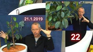 Gummibaum der Rückschnitt und das Umpflanzen in einen Lechuza Topf Classico Premium 50