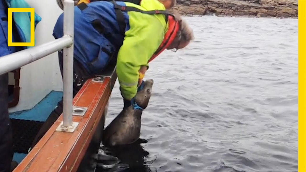 Watch: Rescuers Free Seal Trapped By Fishing Line   National Geographic thumbnail