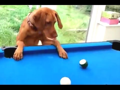Funny Cats And Dogs Playing Pool Compilation 2014 [NEW]