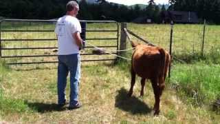 Teaching Our Calf To Lead - Part 1 of 6