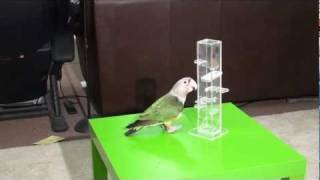 Truman Cape Parrot - Foraging Tower