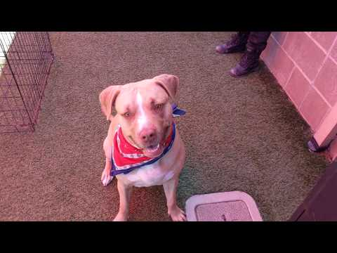 Moxie 1-98-19, an adopted Staffordshire Bull Terrier in Grass Valley, CA