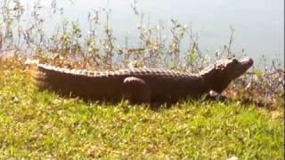 preview picture of video 'Yacaré en la laguna de Ita, Paraguay'