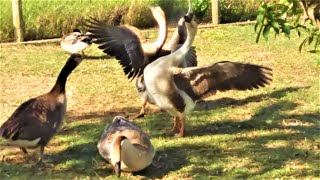 MEETING TWO COUPLE MALLARD DUCKS & AFRICAN GEESE AFTER THE CREATE WATERBIRDS - FARMA SKYDRA.GR