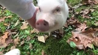 Piggie Smalls the Mini Pig Getting Back Scratches