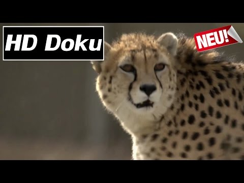 Doku (2017) - Phantome der Wüste: Asiens letzte Geparde - HD\/HQ