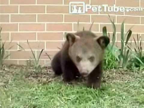 Never Ending Sneezing Bear