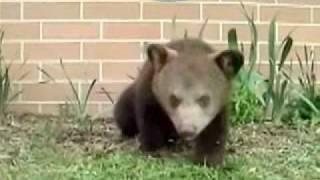 Чихающий медвежонок