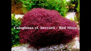 Caloglossa sp. beccarii (Red moss)