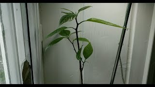 Avocado tree from seed 43 days time lapse