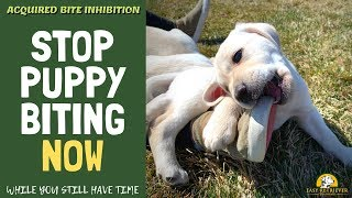Teach a Lab Puppy Not to Bite
