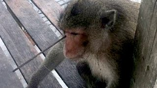 Horrifying Pictures Show Monkey With Arrow Shot Through His Head