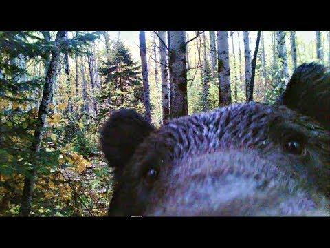 Медведь попал в фотоловушку!