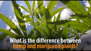 What is the difference between hemp and marijuana plants?