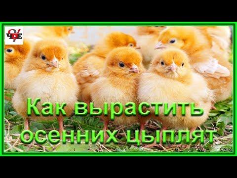 , title : 'Как вырастить осенних цыплят и зачем это надо!