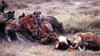 The lion enjoys his meal when a herd of hyena's in around