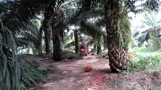 Aksi Supir Mini Traktor Buah Sawit Yg Ugal_ugalan