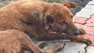 Badly wounded but cheerful older dog rescued--and thrives...