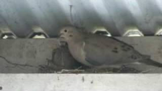 Mourning Doves Friday, April 24, 2009