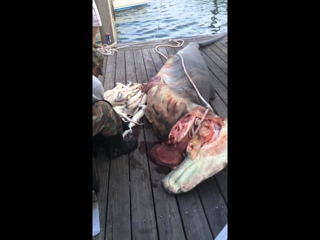 Hammerhead Shark with 34 baby's
