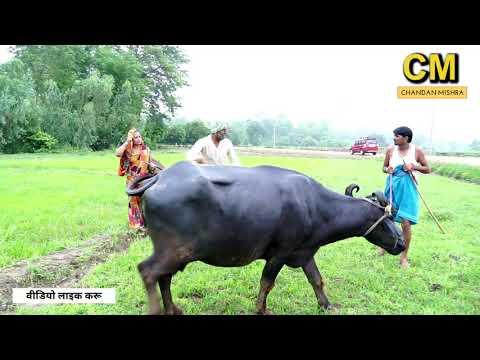 रामलाल भैंस चरवाहा | RAMLAL | MAITHILI COMEDY