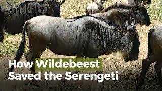 How Wildebeest Saved the Serengeti