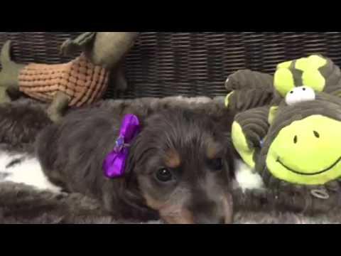 One of a kind BLUE, long hair Dachshund puppy!!!!!