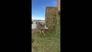 animale salveaza un cerb