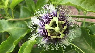 Hand pollinating passionfruit! (Flower to Fruit)