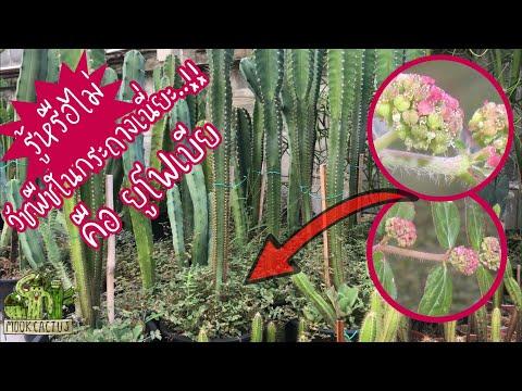 , title : 'รู้หรือไม่ วัชพืชในกระถางเนี่ยะ คือ ยูโฟเบีย | these weeds are euphorbia | MookCactus