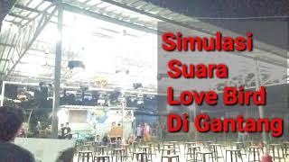 Simulasi Audio Lomba Love Bird