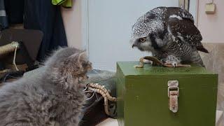 Сову Иву бесит котёнок и газета. С Днём защиты животных!