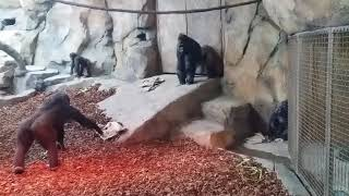 New Gorilla World Habitat at the Cincinnati Zoo and Botanical Gardens.