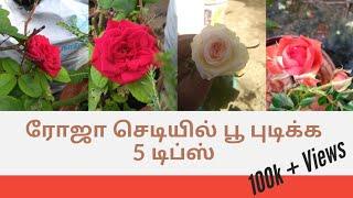 ரோஜா செடியில் பூ புடிக்க  5 டிப்ஸ் | 5 Tips To Bloom Rose |