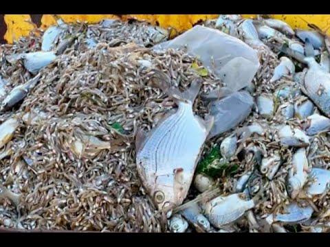Mas de 300 kilos de peces muertos fueron encontrados en El Laguito de Cartagena