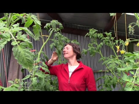 , title : 'Earthing Up Tomatoes (Wait! Hello? Did he say Tomatoes?)