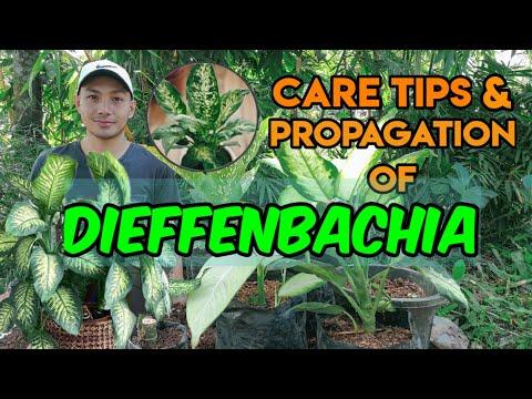 , title : 'DIEFFENBACHIA CARE TIPS AND PROPAGATION