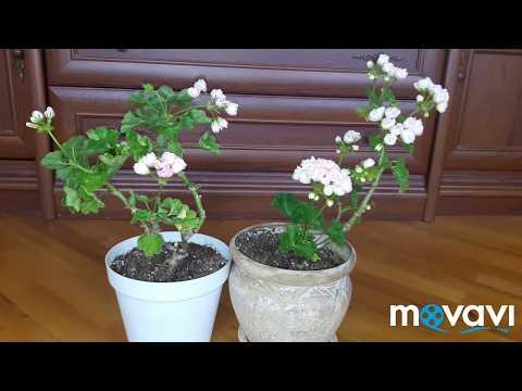 Тюльпановидные пеларгонии Marbacka Tulpan и Emma fran Bengstbo