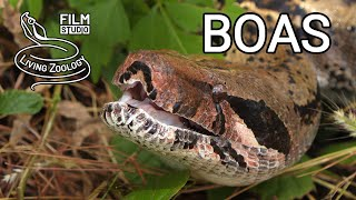 Boa imperator, big constrictor snake, Tree boas, Corallus, Dumeril's boa, Acrantophis, booid snakes