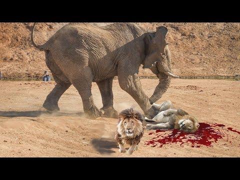 Amazing Elephant Rescued Buffalo From Lion, Elephant vs Lion fierce battle