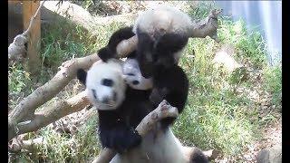 ジャイアントパンダのシャンシャン301日齢親子でじゃれっこ